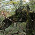 森に眠る(鍋割山にて)